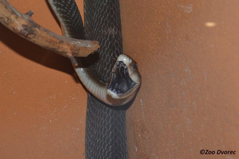 Mamba černá nově u nás v zoo