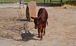 Ilustrační fotografie k článku Watusi , Vahumský skot neboli masajská kráva