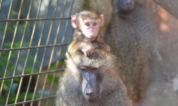 Ilustrační fotografie k článku Pavian babuin