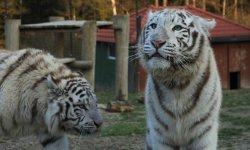 Ilustrační fotografie k článku Tygr indický