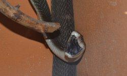 Ilustrační fotografie k článku Mamba černá nově u nás v zoo