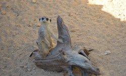 Malá šelmička - surikata vlnkovaná