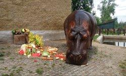 Ilustrační fotografie k článku 11. narozeniny hrocha Bubórka