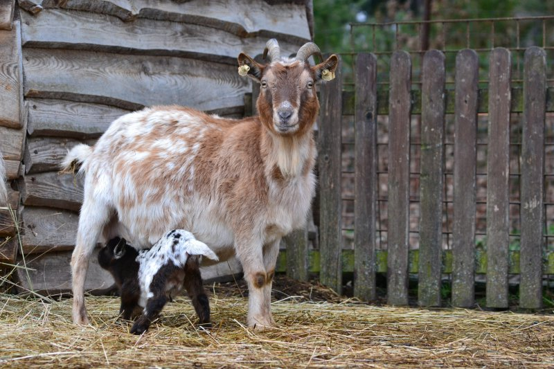 Koza holandská