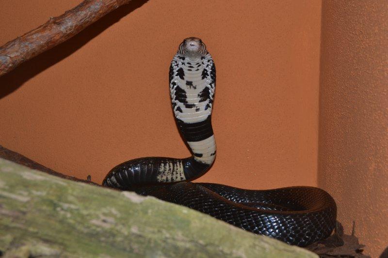 Kobra černá
