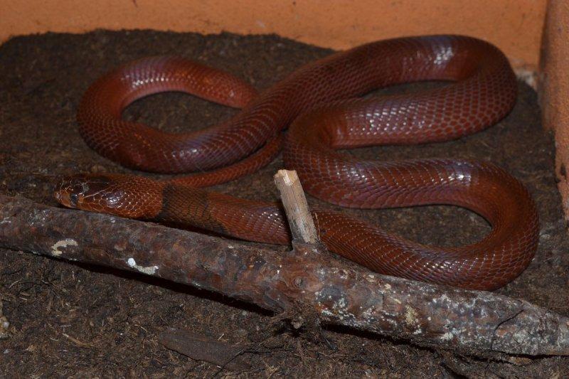 Kobra červená