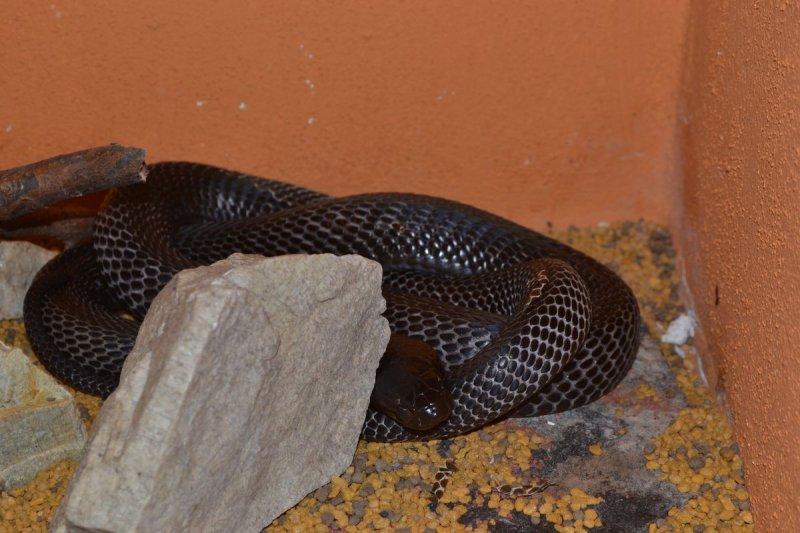 Kobra cejlonská