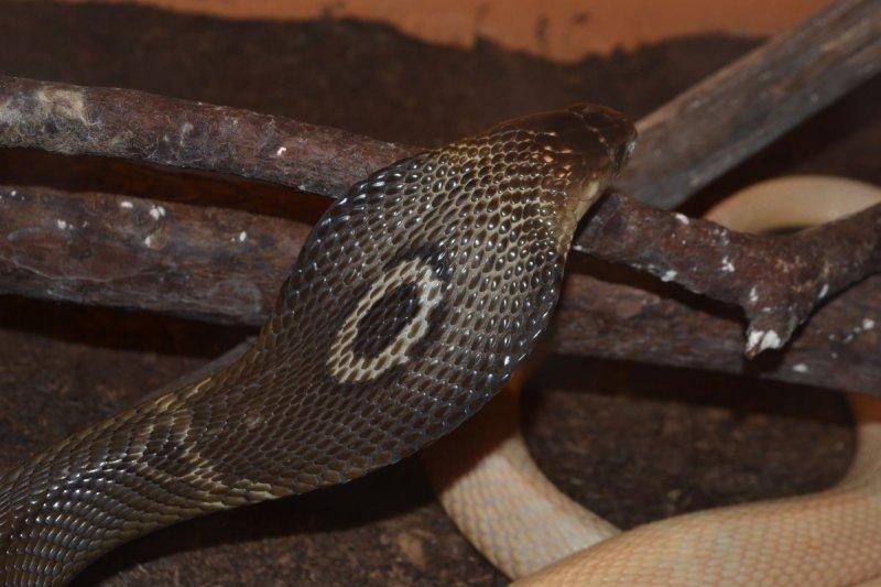 Kobra monoklová