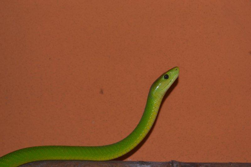Mamba zelená úzkohlavá