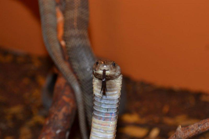 Kobra středoasijská