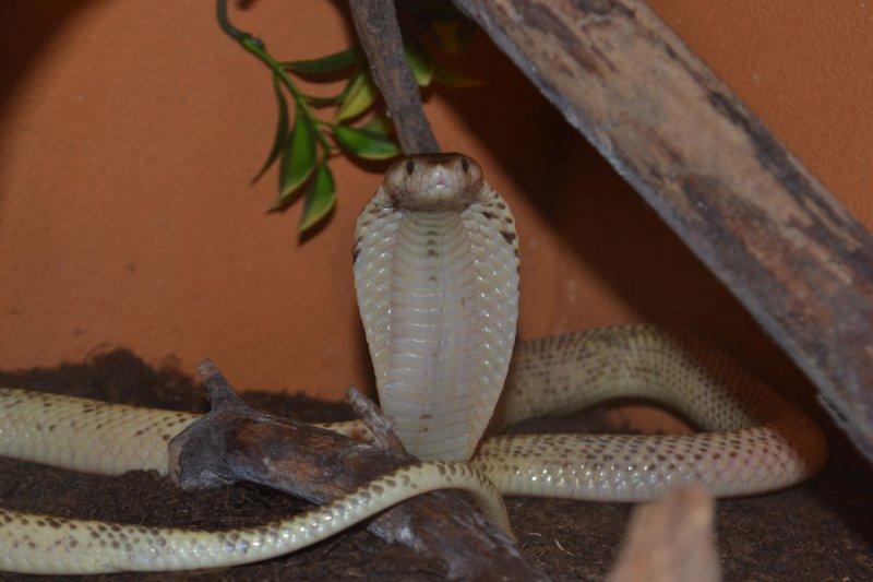 Kobra sumatránská