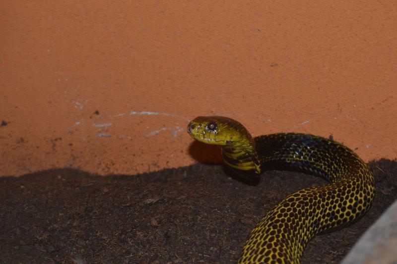 Kobra samarská