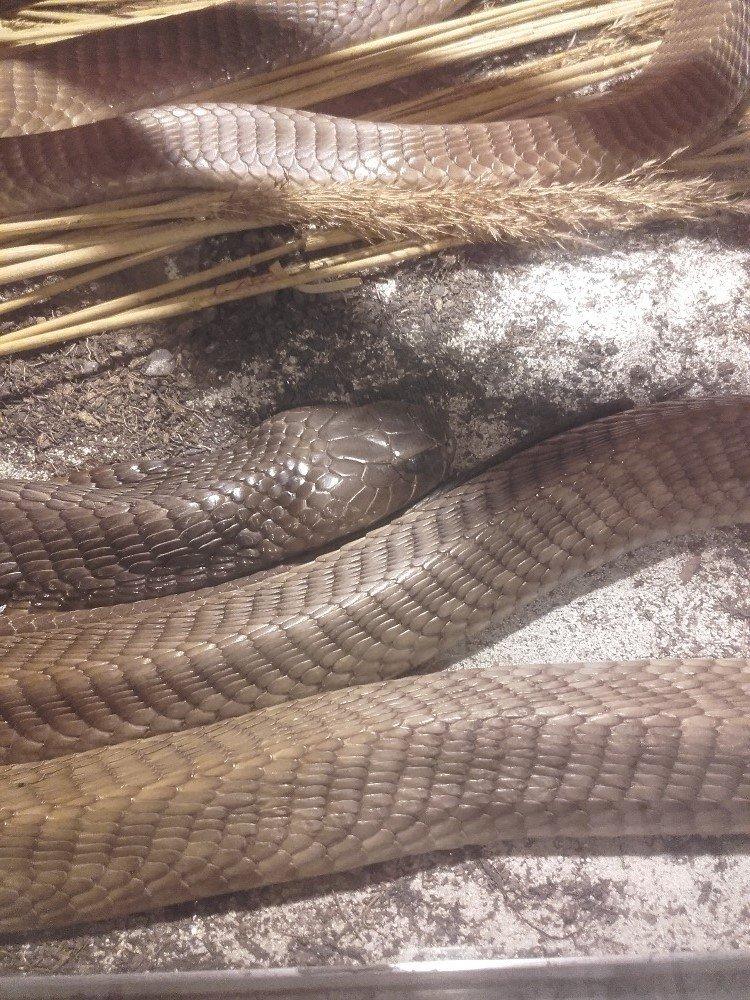 Kobra asheova