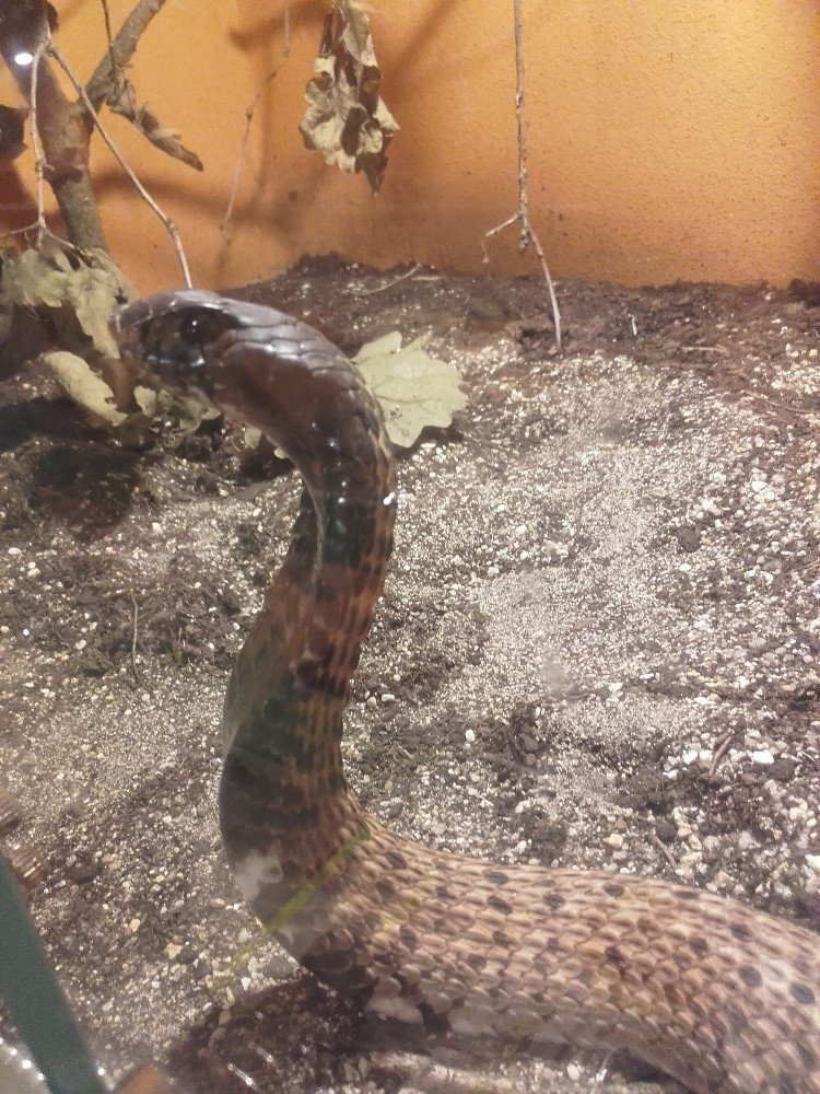 Kobra obojková