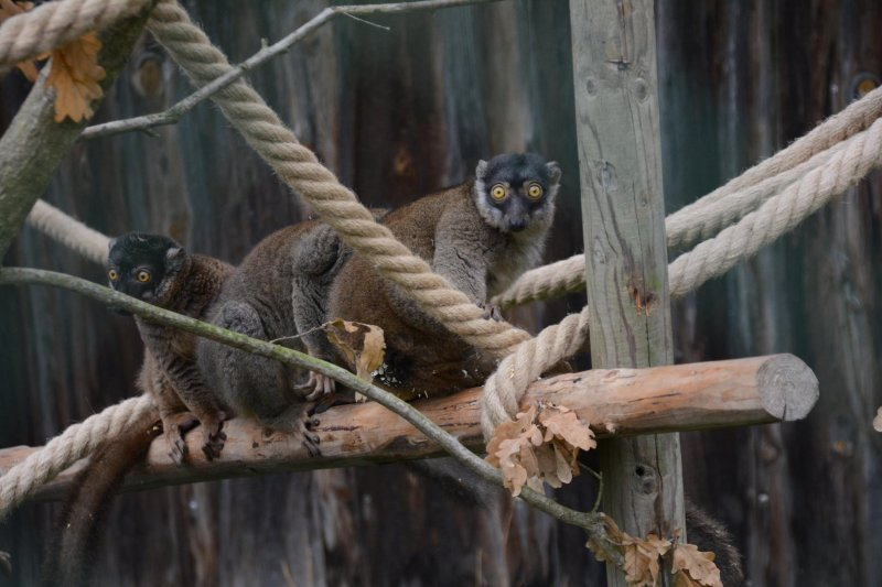 Lemur hnědý