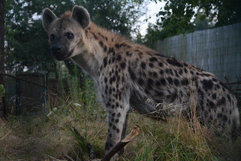 Hyena skrvnitá
