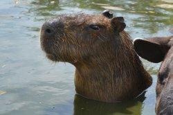 Iustrační foto k Kapybara