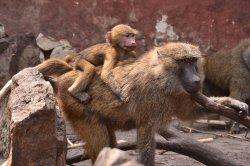 Iustrační foto k Pavián babuin