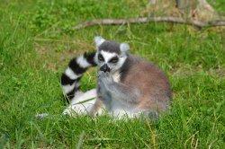 Iustrační foto k Lemur kata