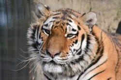 Iustrační foto k Tygr ussurijský