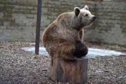 Iustrační foto k Medvěd hnědý