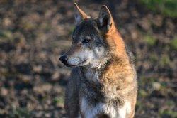 Iustrační foto k Vlk euroasijský