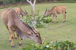 Iustrační foto k Antilopa losí