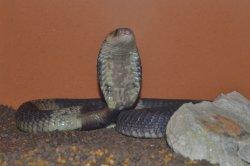 Iustrační foto k Kobra kroužkovaná