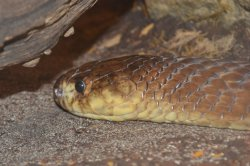 Iustrační foto k Kobra anchietova