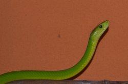 Iustrační foto k Mamba zelená úzkohlavá