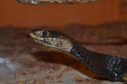 Iustrační foto k Kobra mozambická