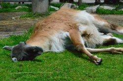 Iustrační foto k Lama guanako