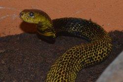 Iustrační foto k Kobra samarská