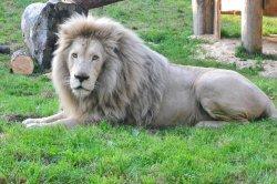 Iustrační foto k Lev jihoafrický bílý