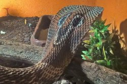 Iustrační foto k Kobra indická
