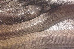 Iustrační foto k Kobra asheova