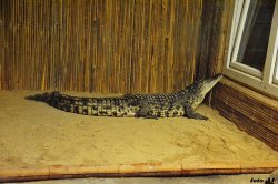 Iustrační foto k Krokodýl nilský