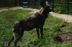 Iustrační foto k Pes hyenový